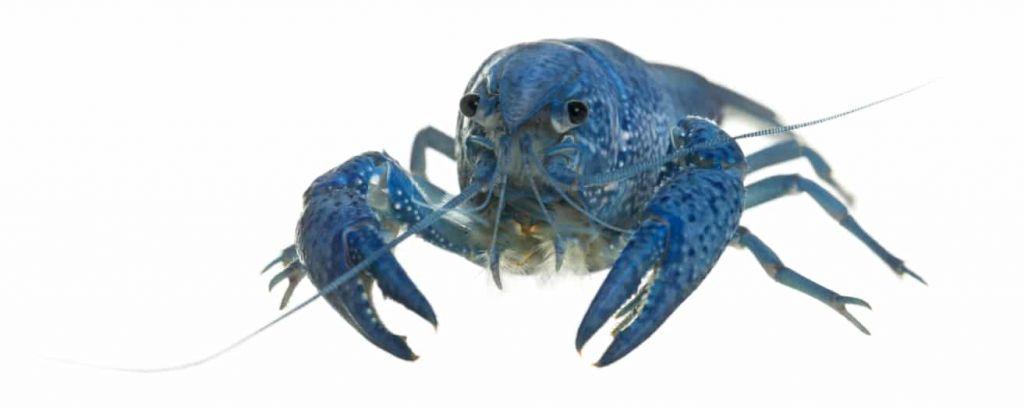Une écrevisse bleue de Floride